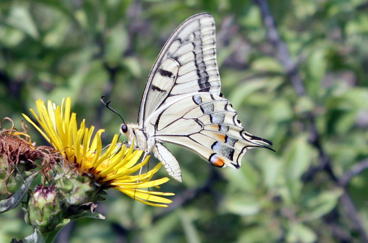 butterfly lepidoptera machaon free photo