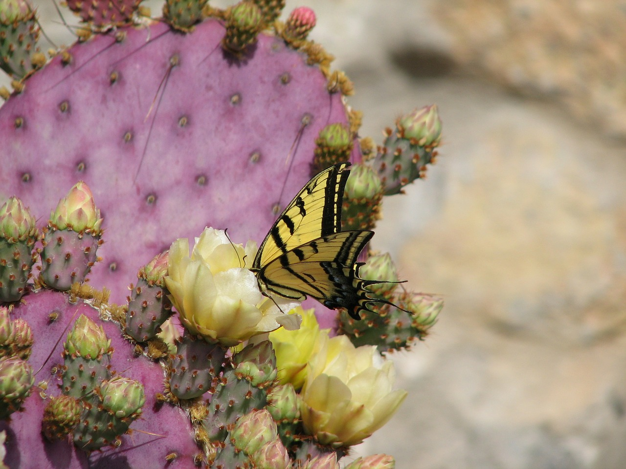 butterfly cactus flower free photo