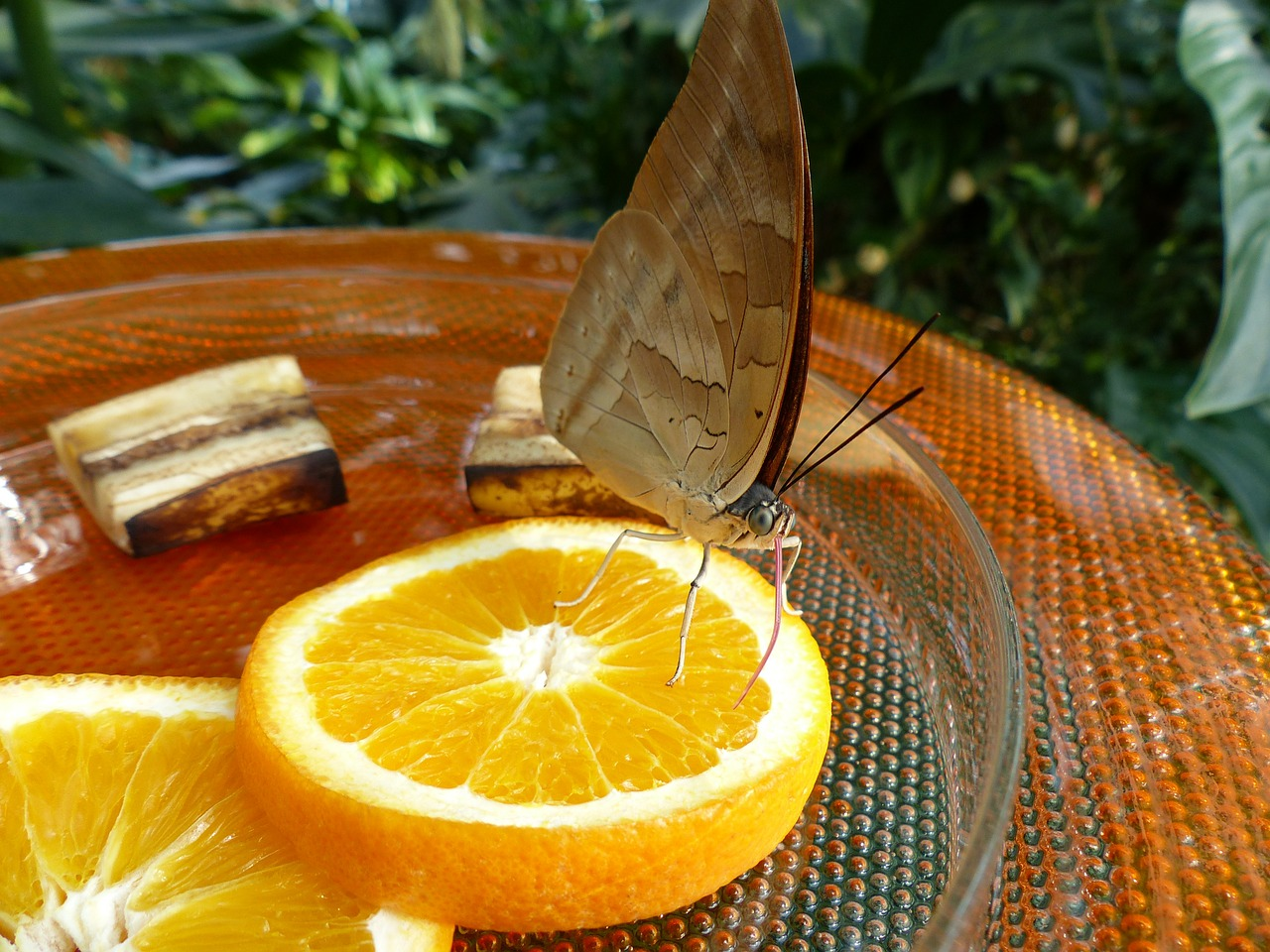 butterfly feeding sugar water free photo