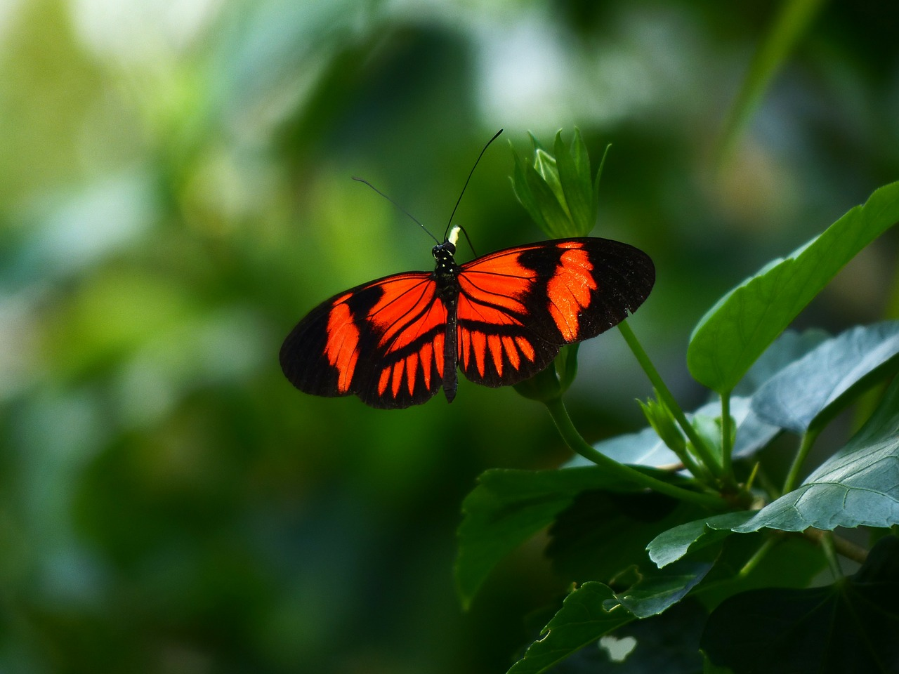 butterfly passion butterfly heliconius melpomene free photo