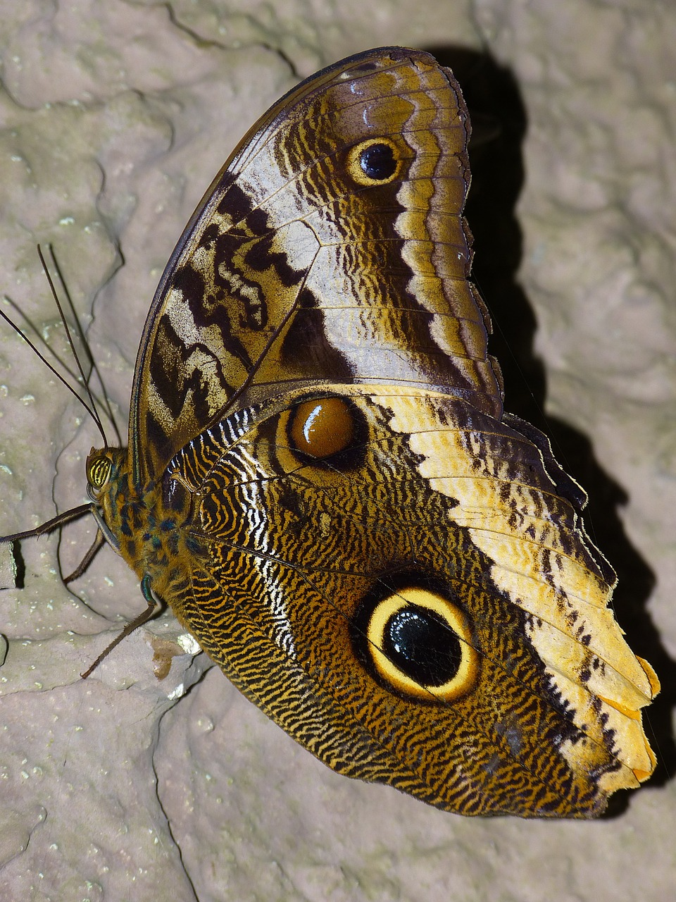 butterfly noctuinae stubs probe free photo