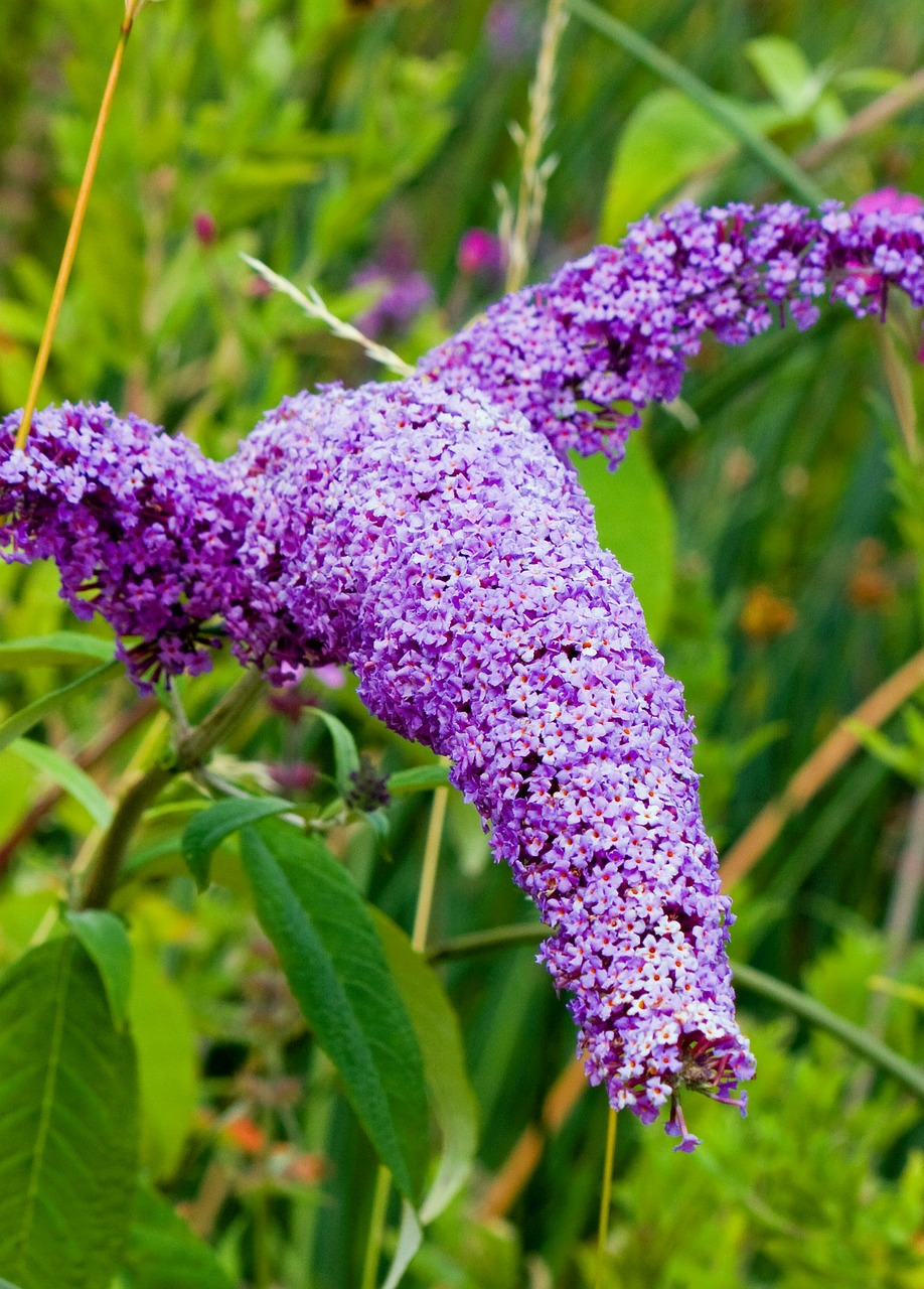 butterfly bush buddleia buddleja free photo