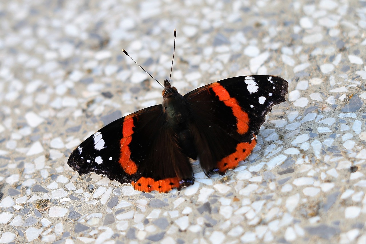 butterfly red admiral  vanessa atalanta  evening free photo
