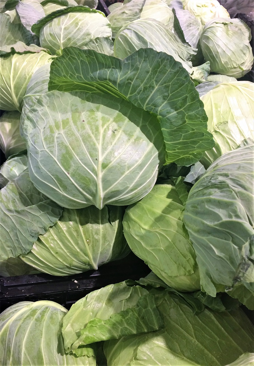 cabbage leafy white free photo