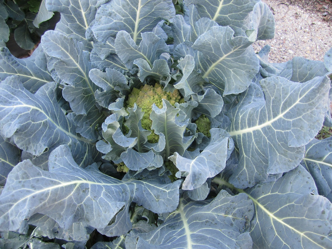 cabbage garden leaves free photo