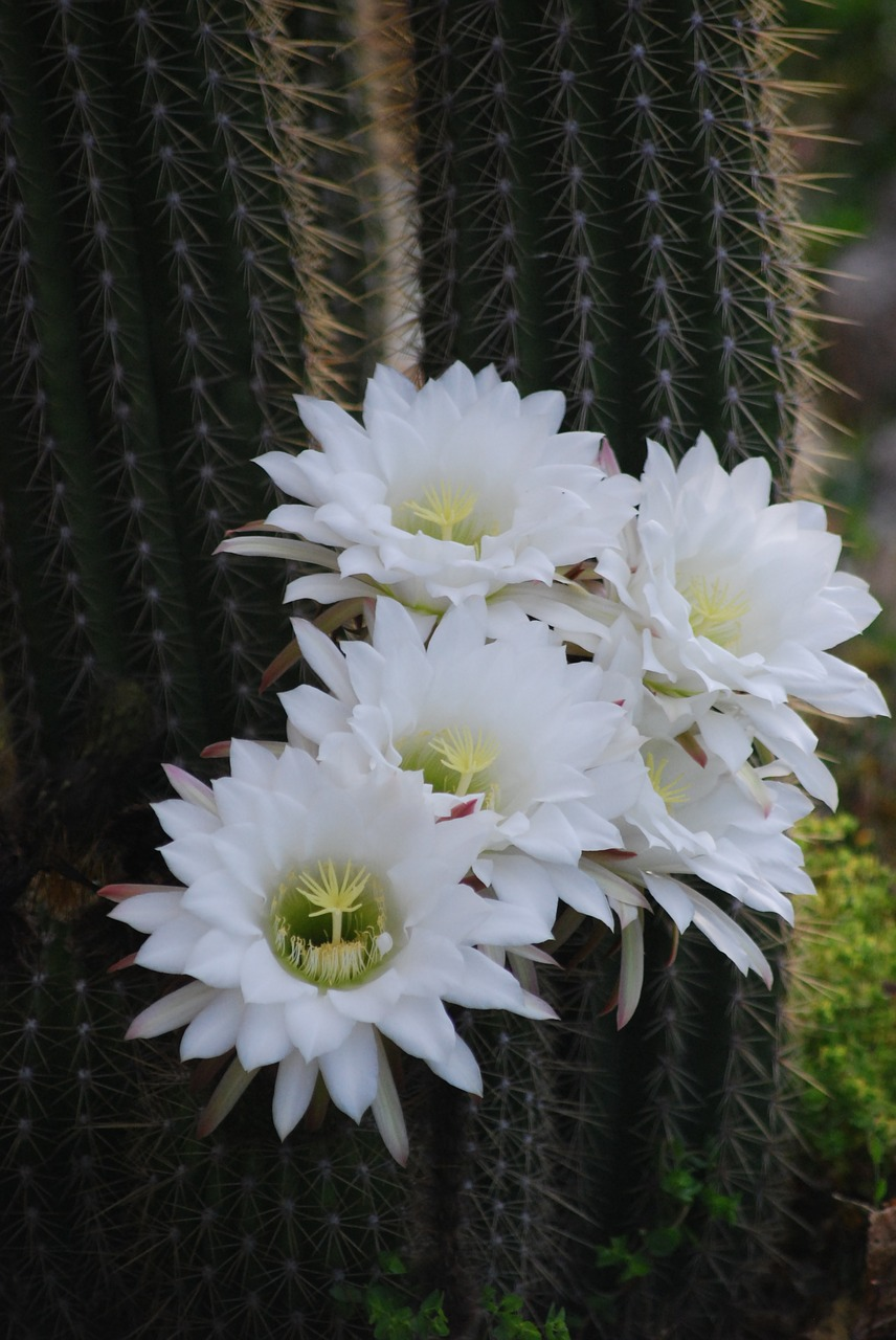 Cactusflowerwhite Flowerflowering Cactussucculent Free Photo