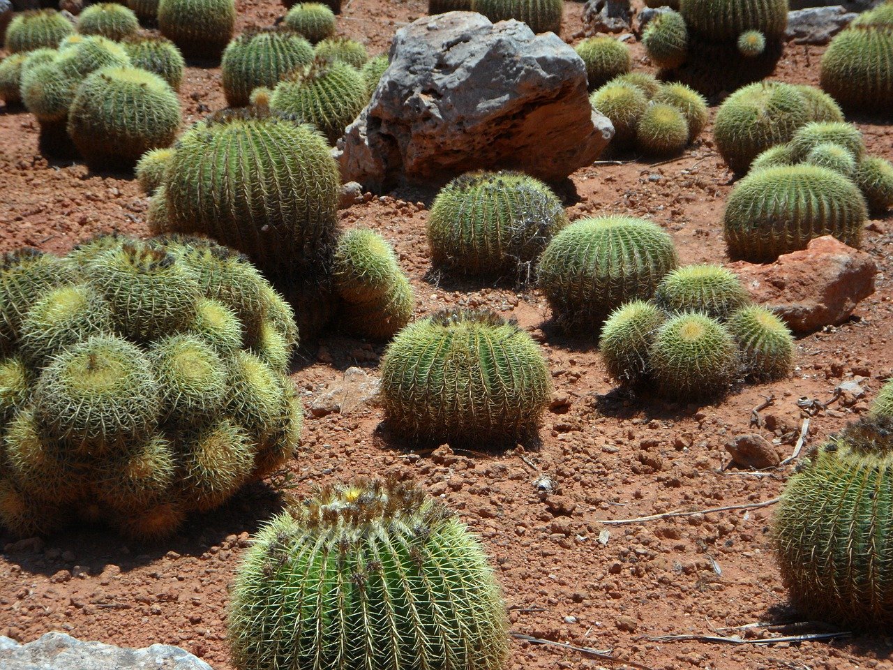 cactus,ball cactus,plant,cactus garden,prickly,globose,desert,flora,spur,free pictures, free photos, free images, royalty free, free illustrations