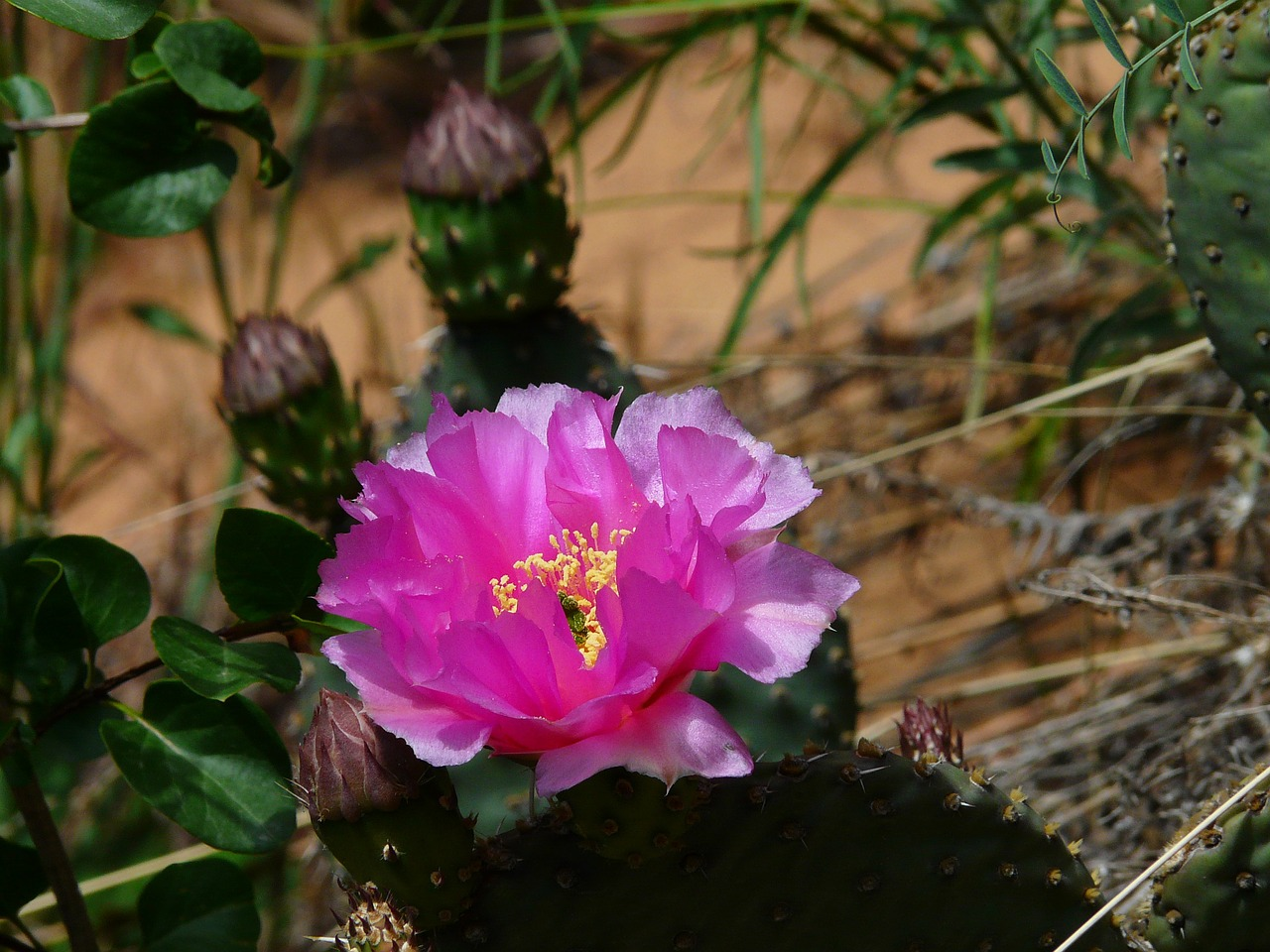 cactus blossom bloom free photo
