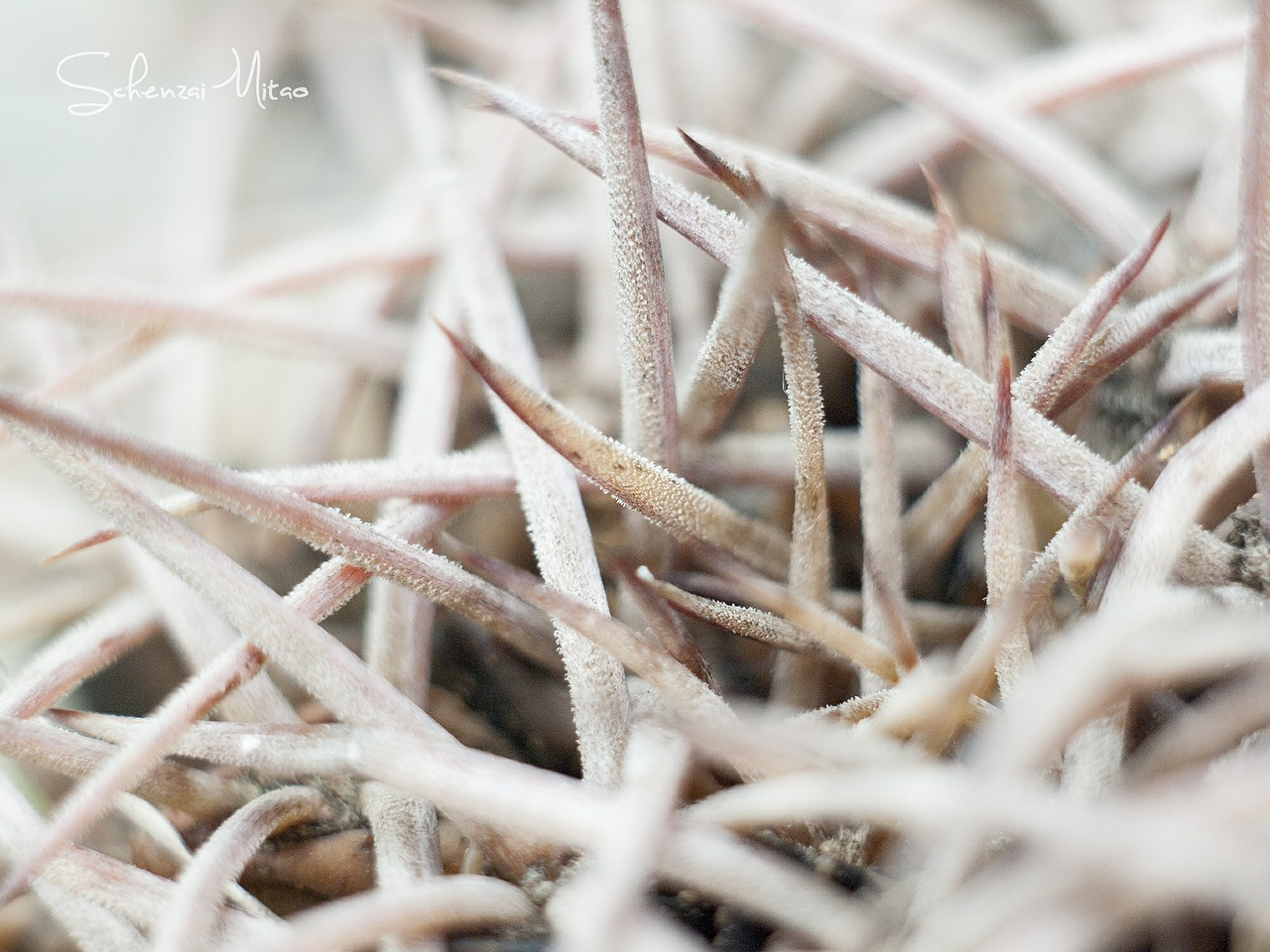 cactus,white,light,morning,detail,spines,free pictures, free photos, free images, royalty free, free illustrations, public domain