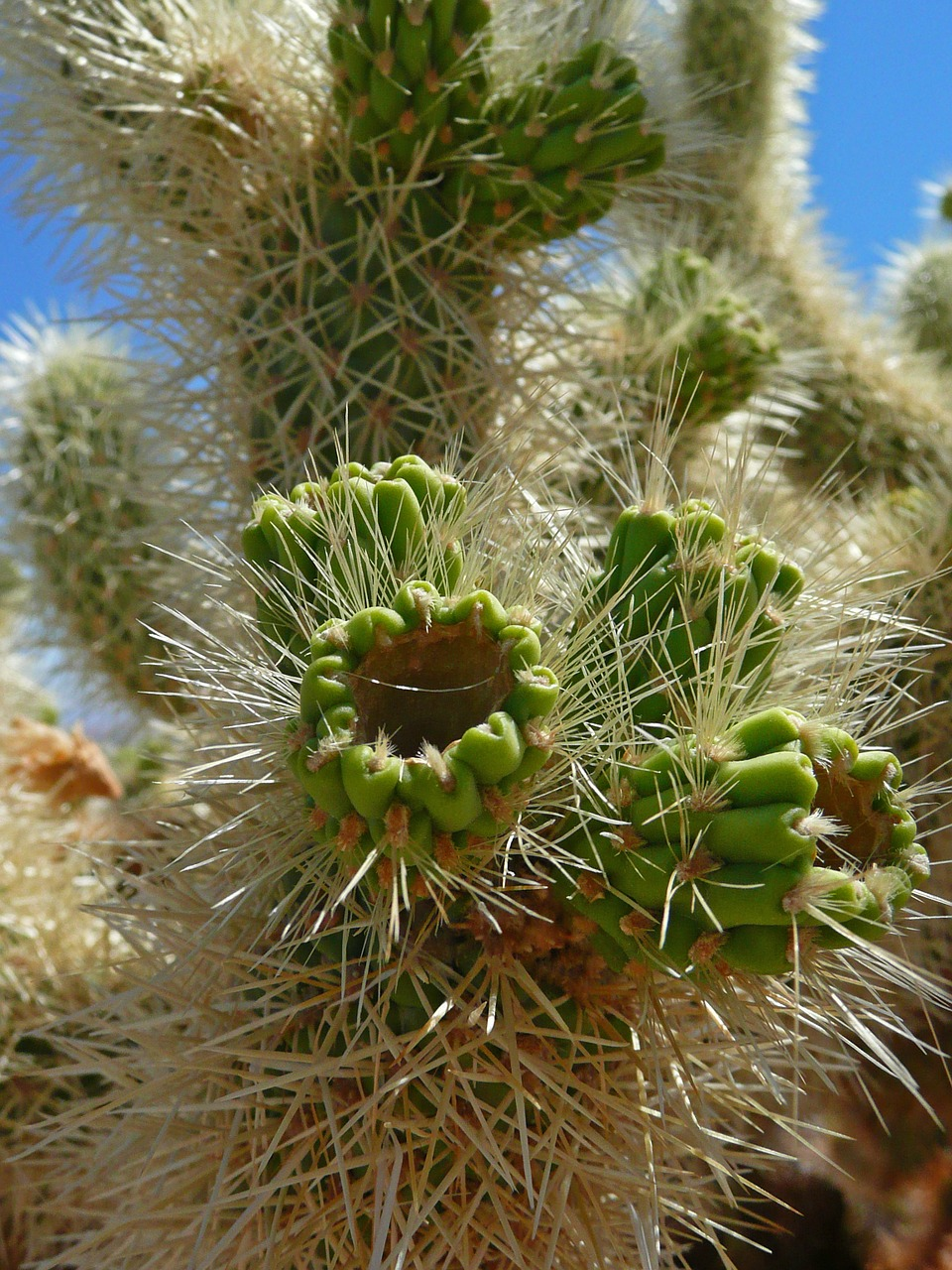 cactus green spines free photo