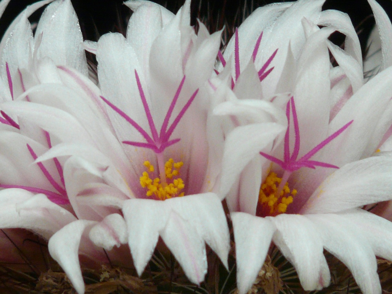 cactus white flowers free photo