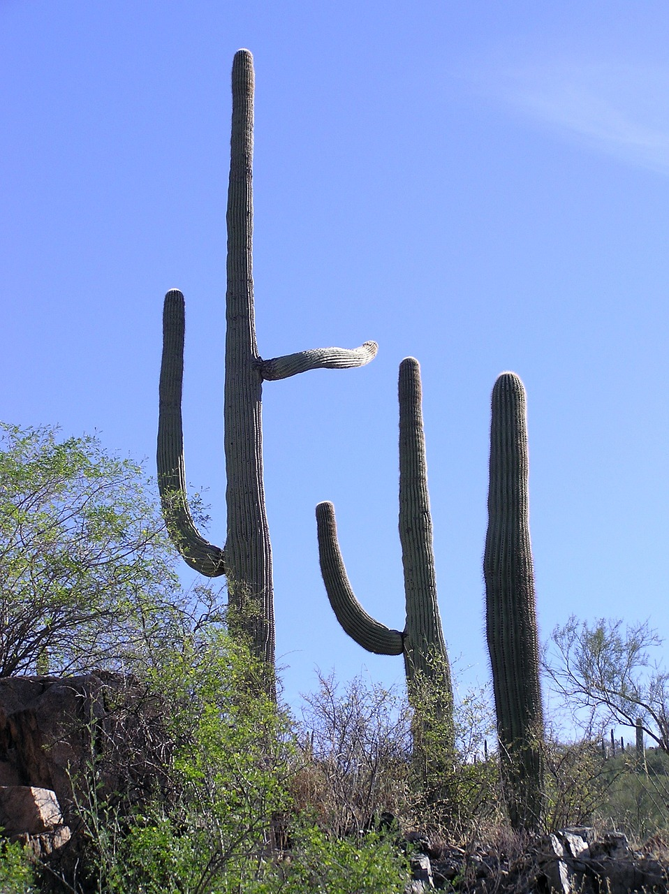 cactus saguaro southwest free photo