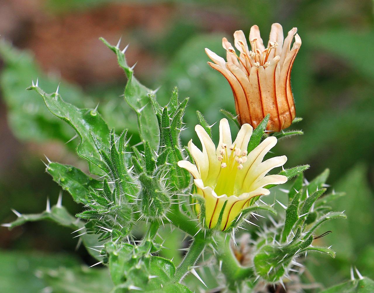 Cactus Flowersflowersplantnaturebloom Free Photo From Needpix