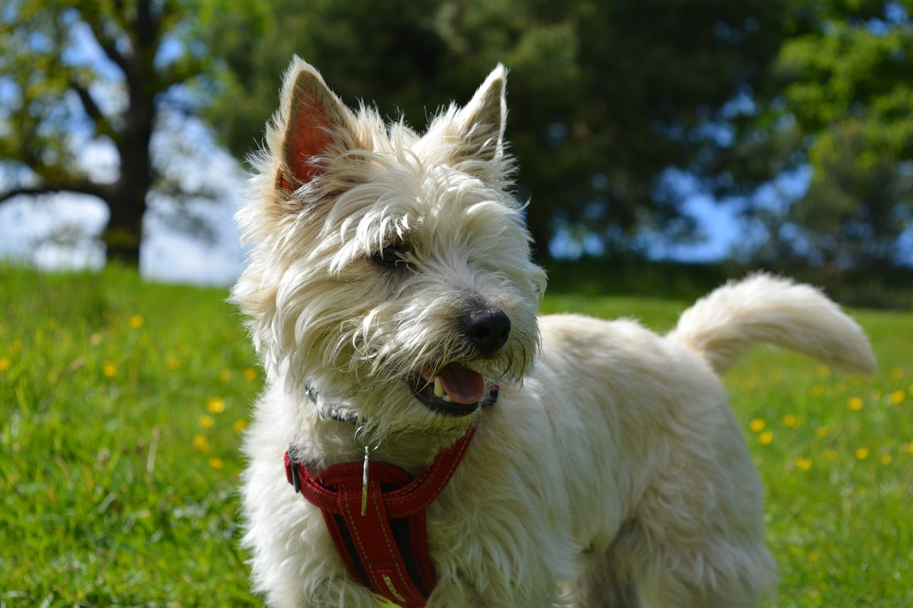 Image result for cairn terrier