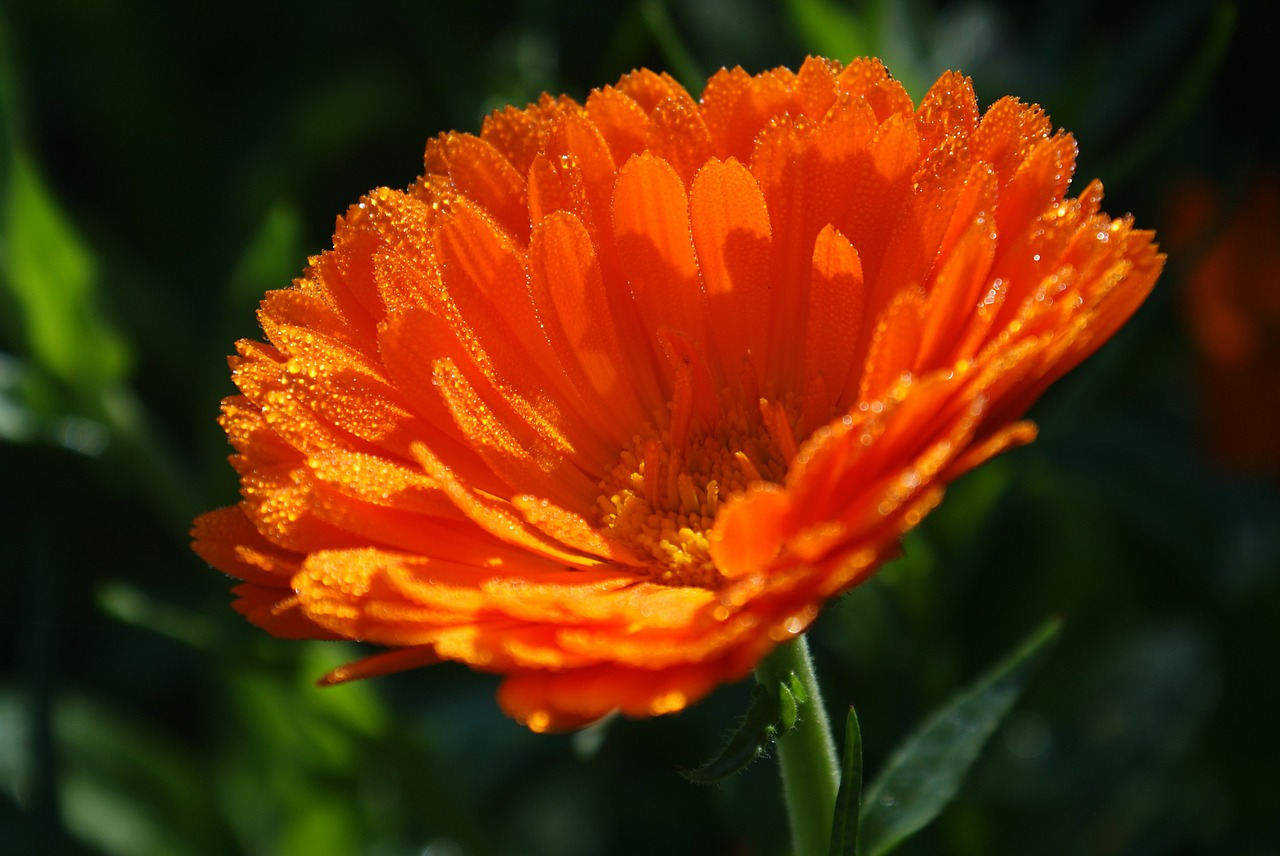 calendula medicinal plant nature free photo