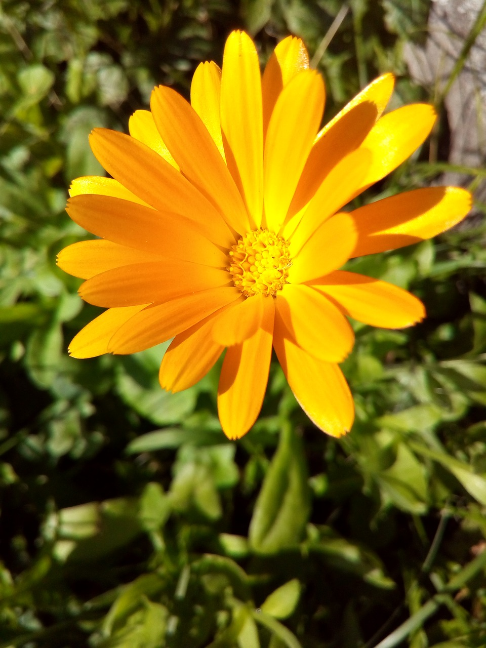 Calendulaflowermarigoldyellowflower Bed Free Photo From
