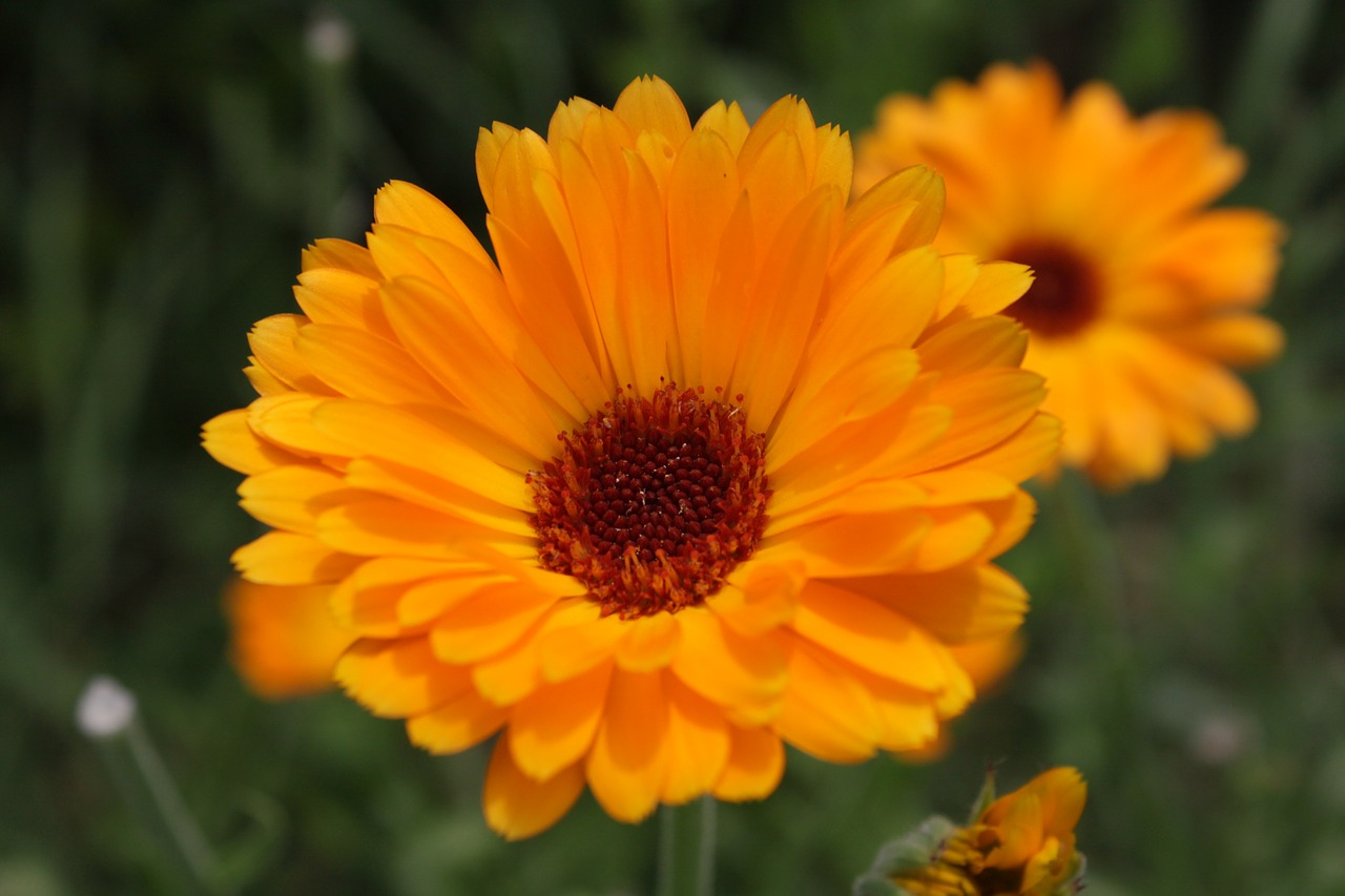 calendula close-up flowers free photo
