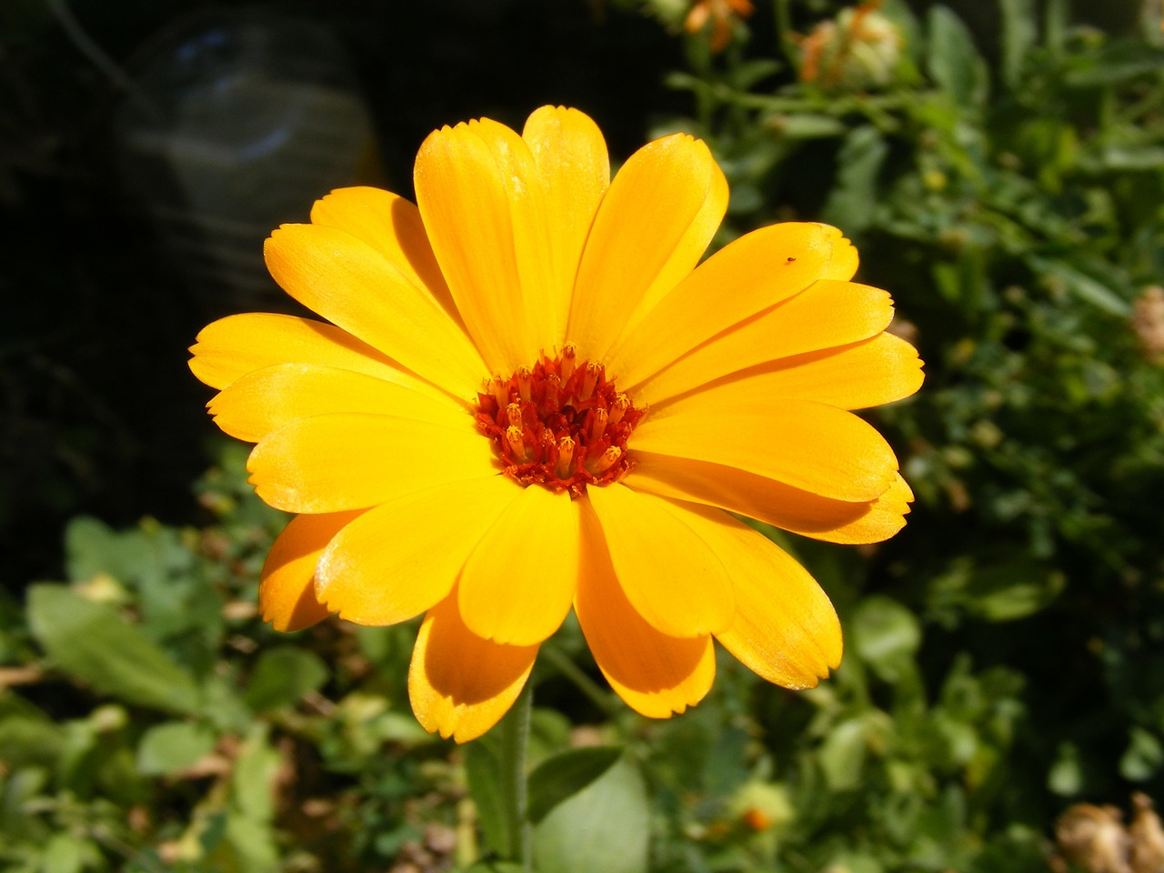 calendula cosmetic culinary free photo