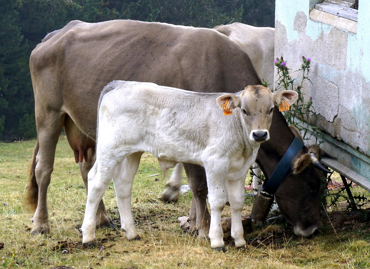 calf white livestock cows animals free photo from