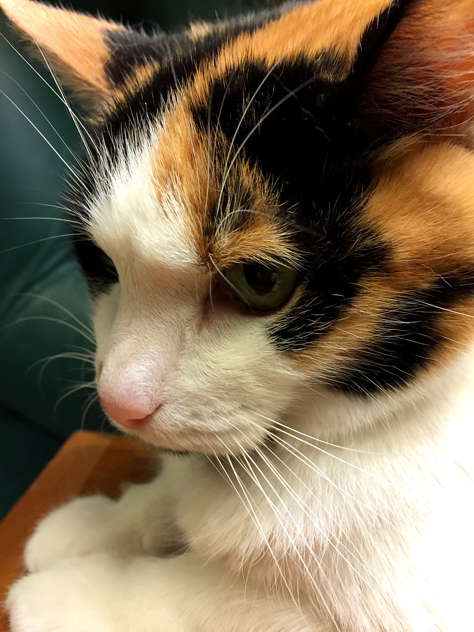 calico,cat,feline,kitten,kitty,profile,orange,black,white,green,eyes,whiskers,looking,female,stare,expression,paws,pink,nose,pensive,face,furry,close,head,pet,friend,love,cuddly,curious,tricolor,fur,free pictures, free photos, free images, royalty free, free illustrations, public domain