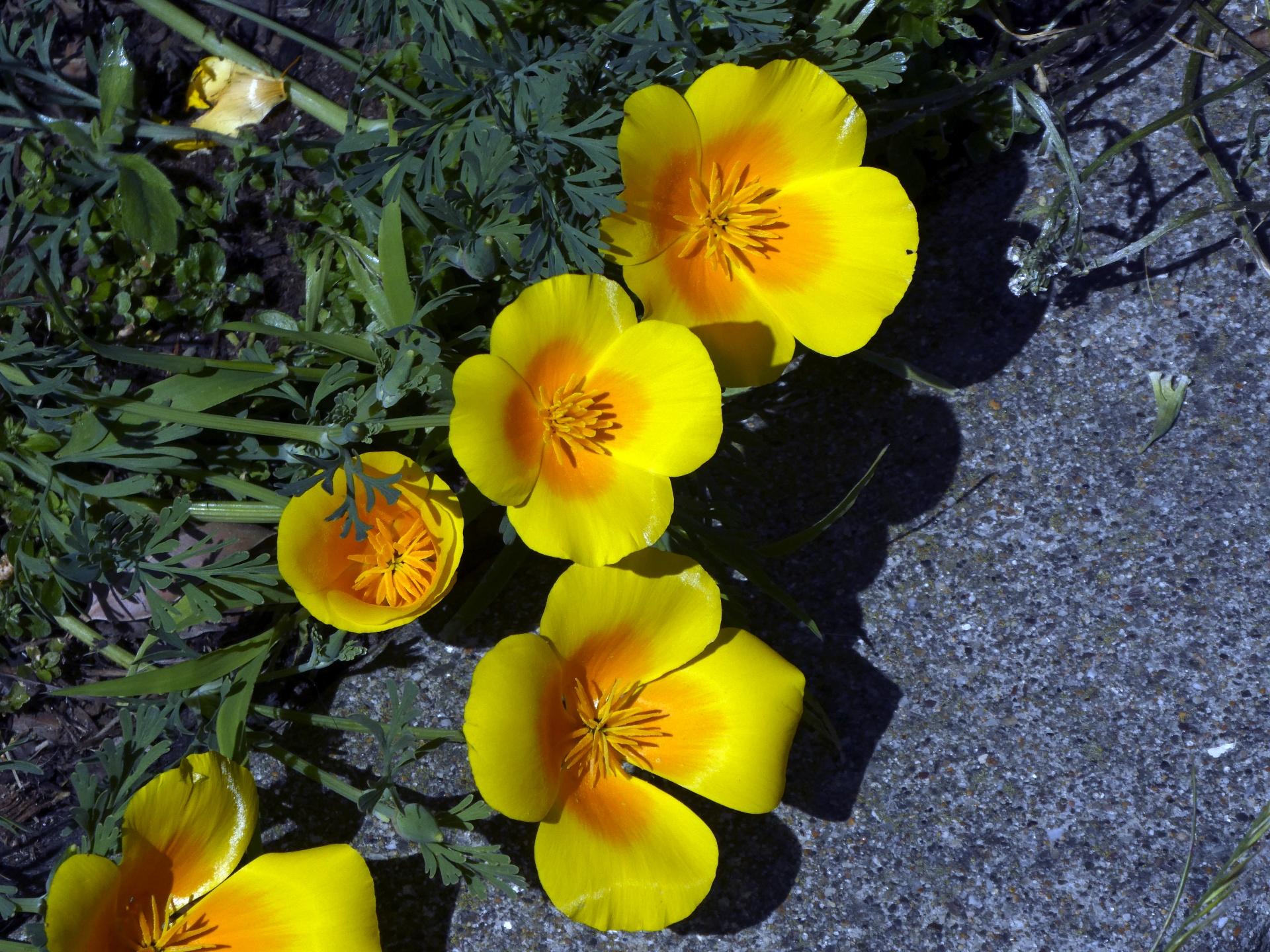 Flowerflowersfloralwildflowerspoppy Free Photo From Needpix