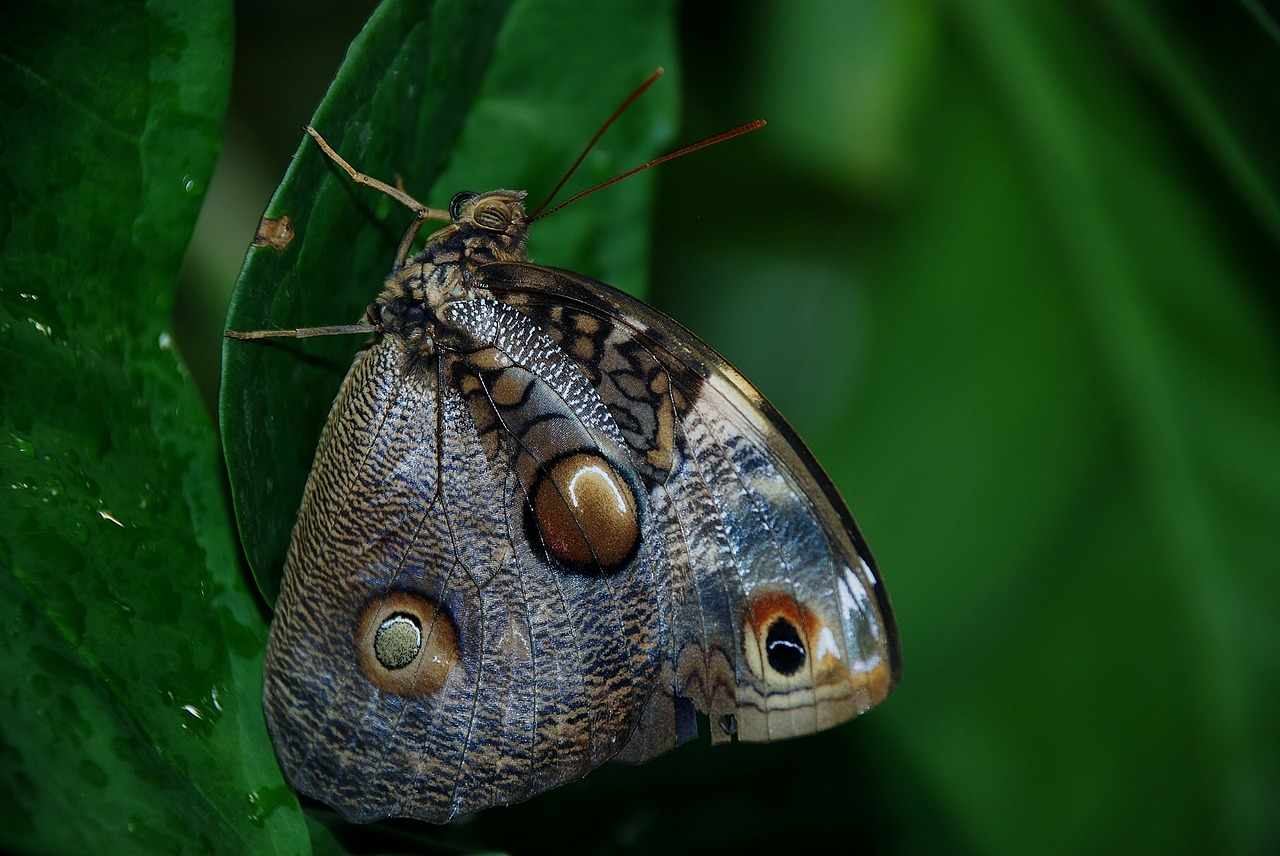 caligo atreus dionysos blue butterfly free photo