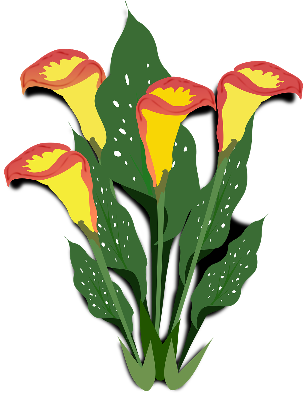 calla clip art copo de leite free photo