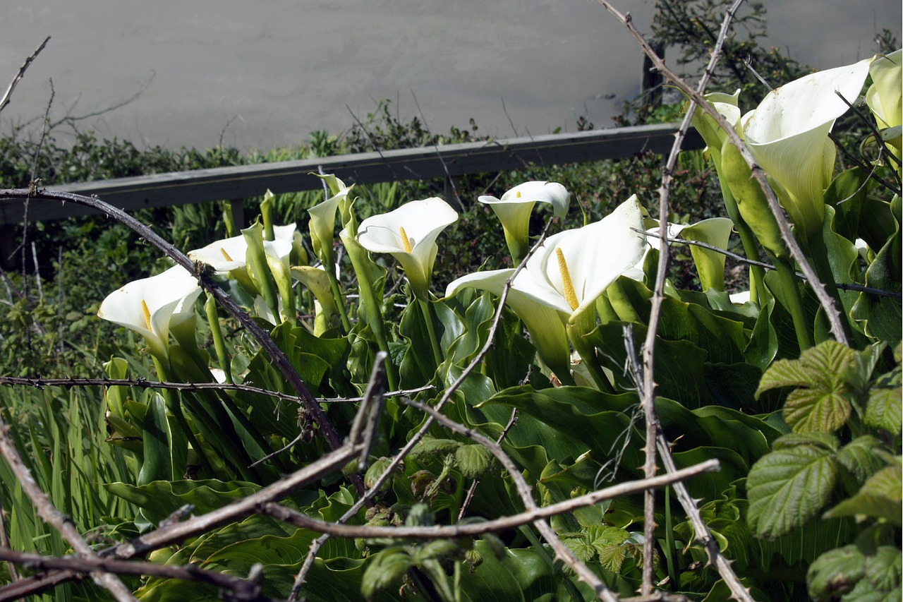 calla flower garden free photo