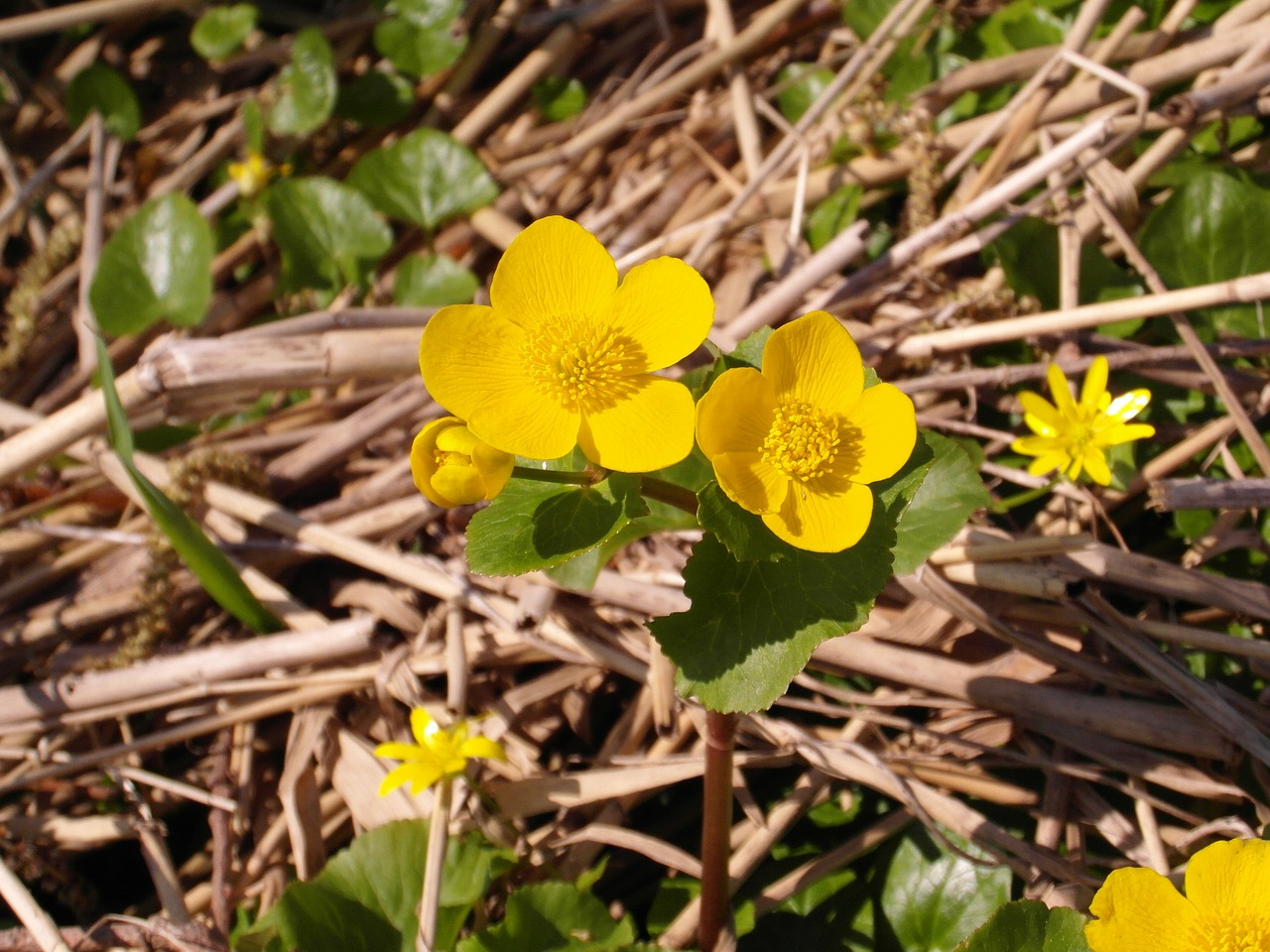 caltha palustris nature reserve moor free photo