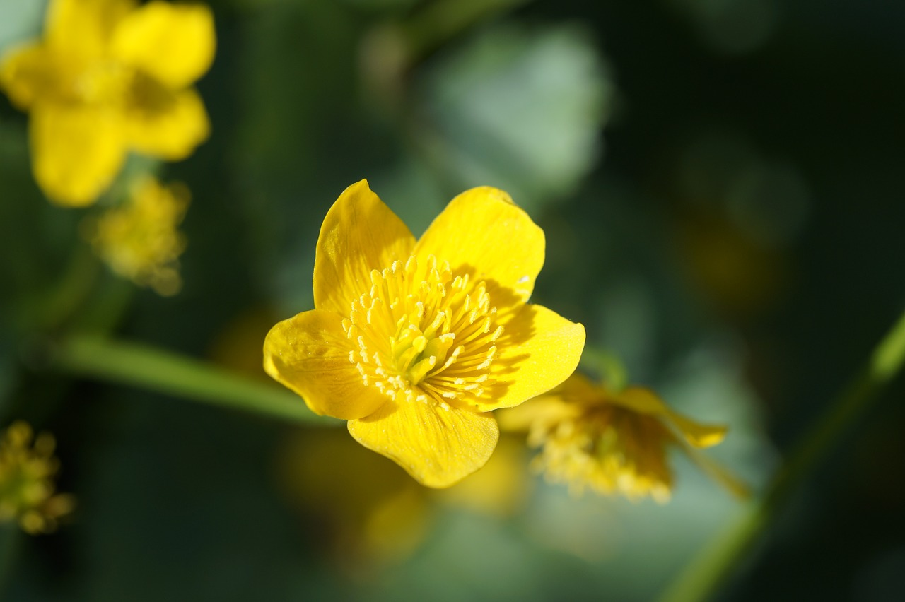 caltha palustris close hahnemann foot greenhouse free photo