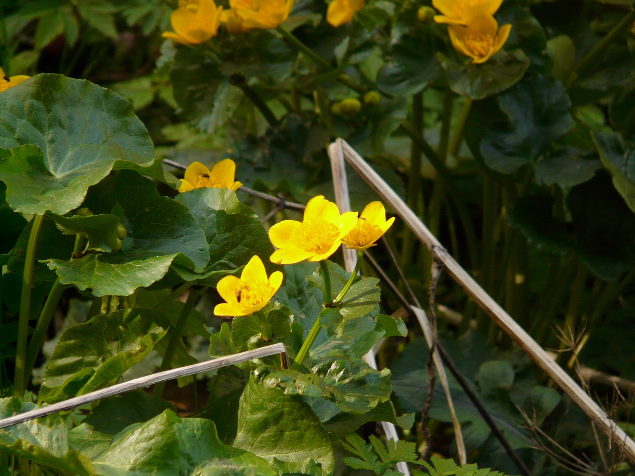 caltha palustris aquatic plant blossom free photo