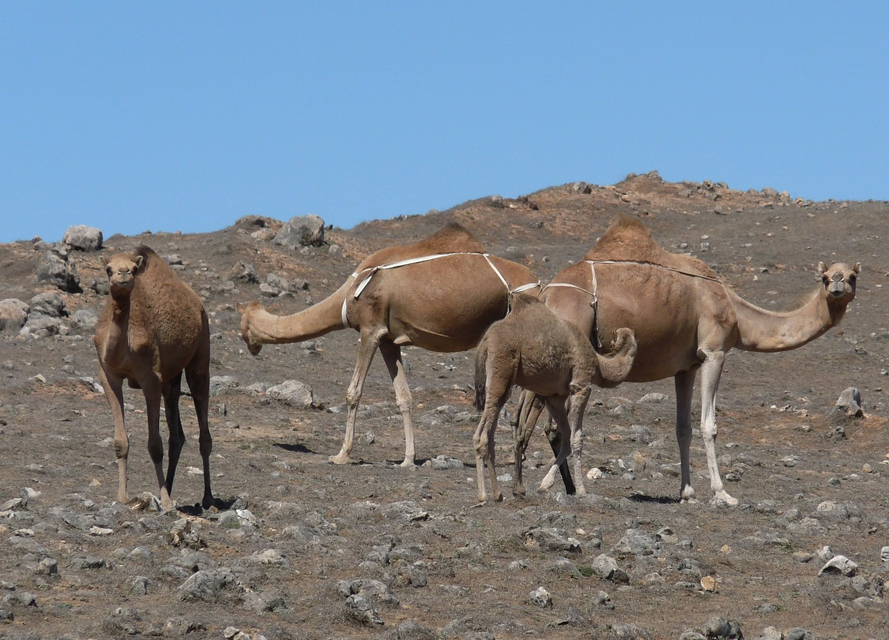 camel desert wadi free photo