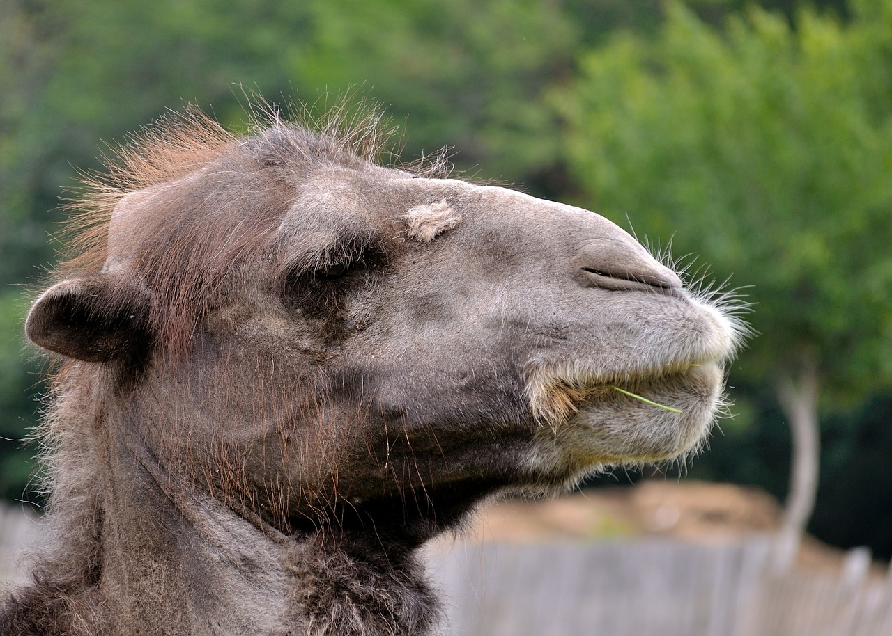 camel animal face free picture