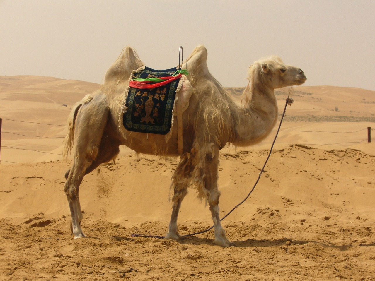 camel desert sand free photo