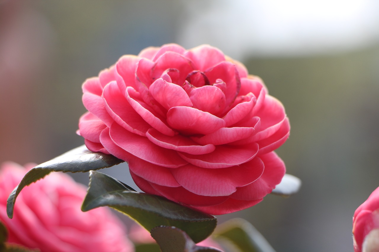Camellia flower,april,spring,flowers,nature - free image from ...