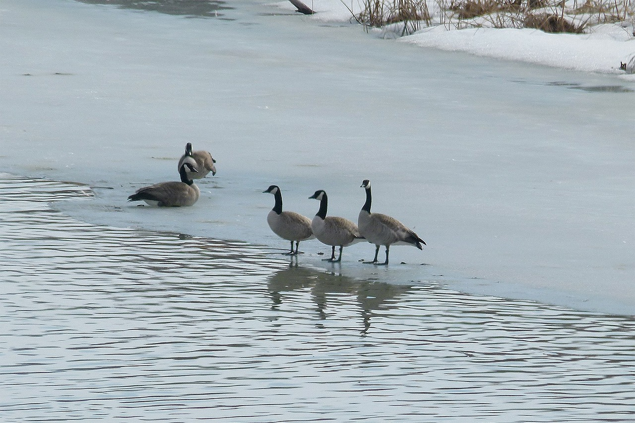 canada geese birds water birds free photo