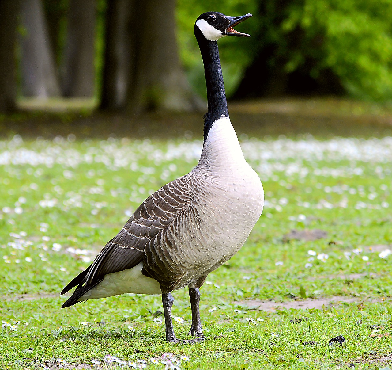 canada goose chatter poultry free photo
