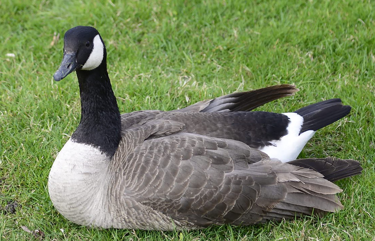 canadian  goose  bird free photo