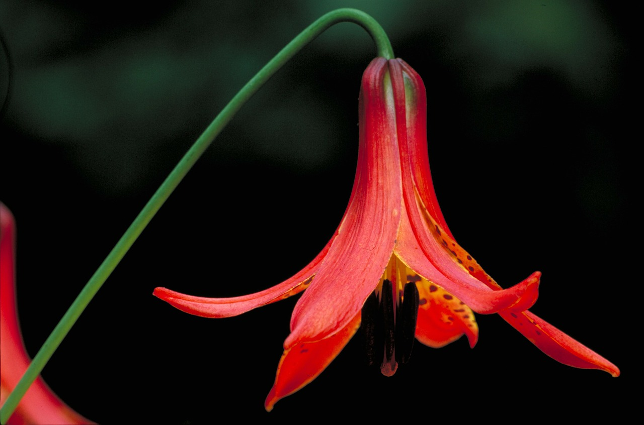 canadian lilly flower beautiful free photo