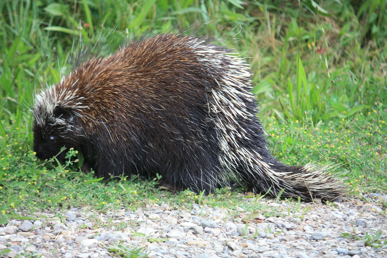 canadian porcupine,porcupine,canada,animal,prickly,spur,free pictures, free photos, free images, royalty free, free illustrations, public domain