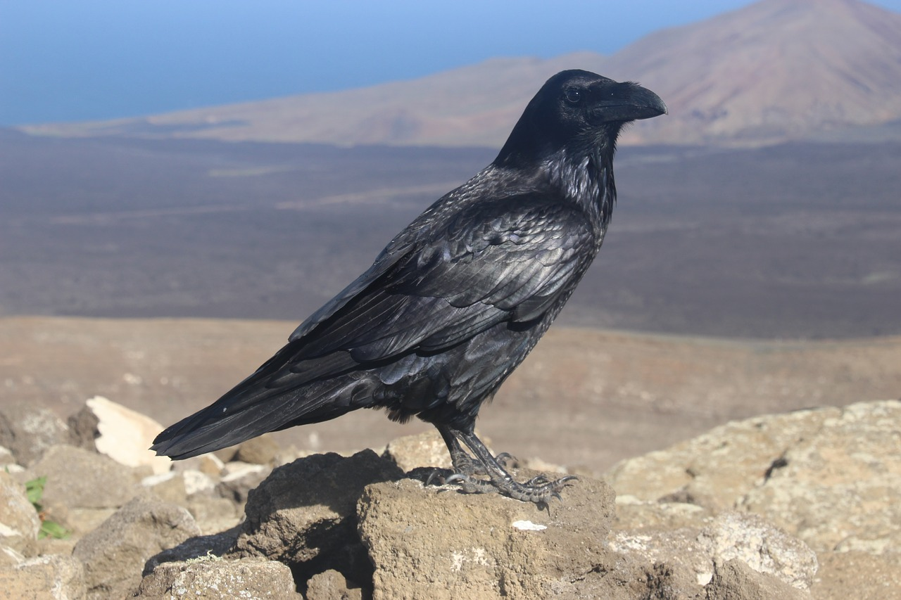 canary crow  canary islands  lanzarote free photo