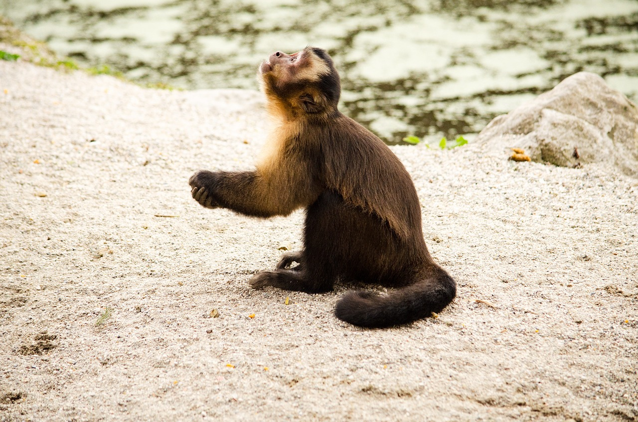 Capuchin,monkey,zoo,tiergarten,capuchins - free photo from