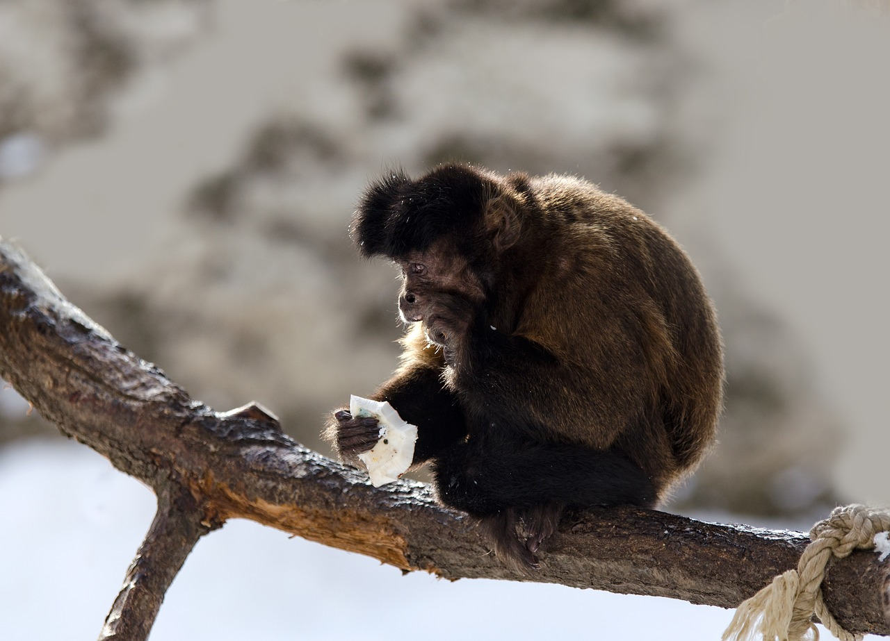 Capuchin,monkey,capuchins,primate,zoo - free photo from