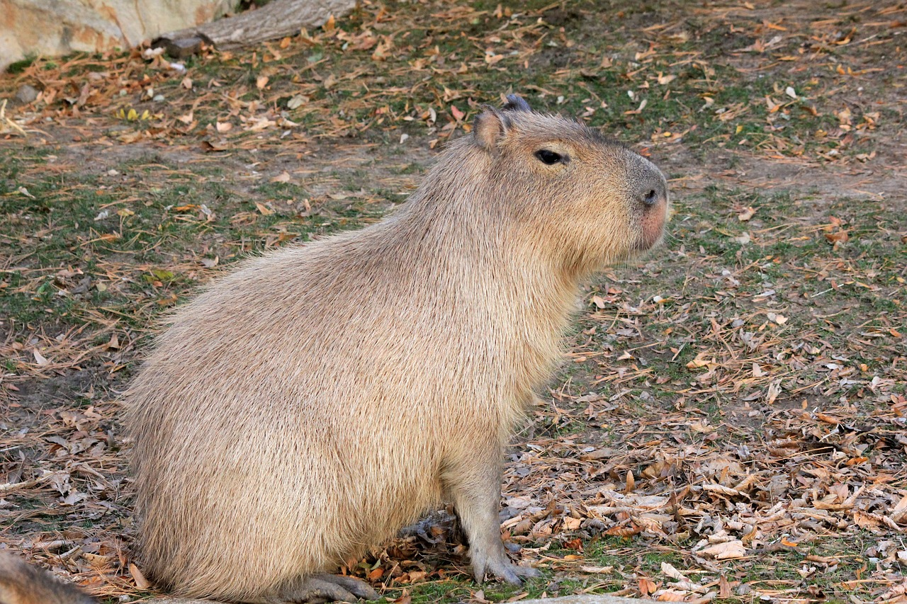 capybara,rodent,animal,wildlife,wild,zoology,mammal,species,wilderness,environment,outdoors,nature,free pictures, free photos, free images, royalty free, free illustrations, public domain
