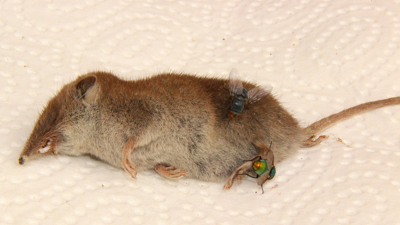 carcass mouse shrew free photo