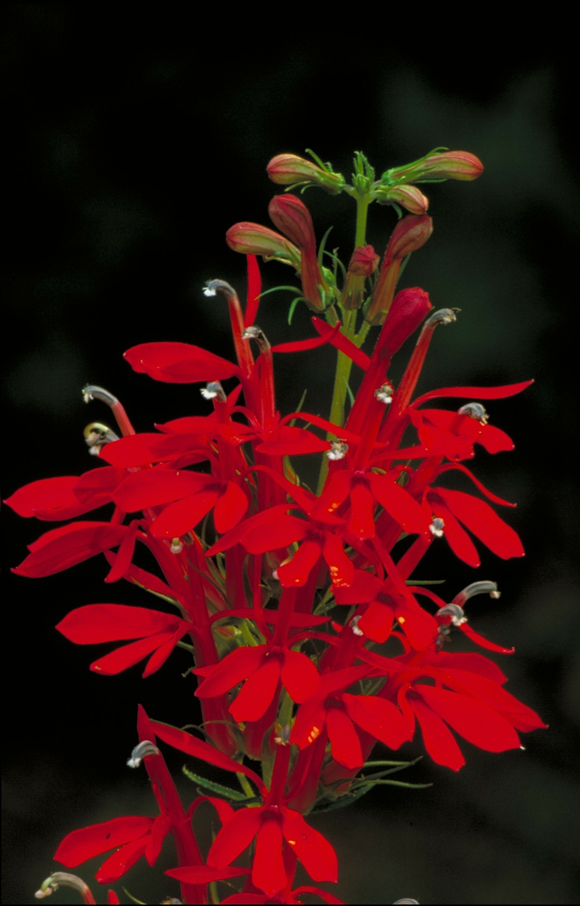 cardinal flower flower beautiful free photo