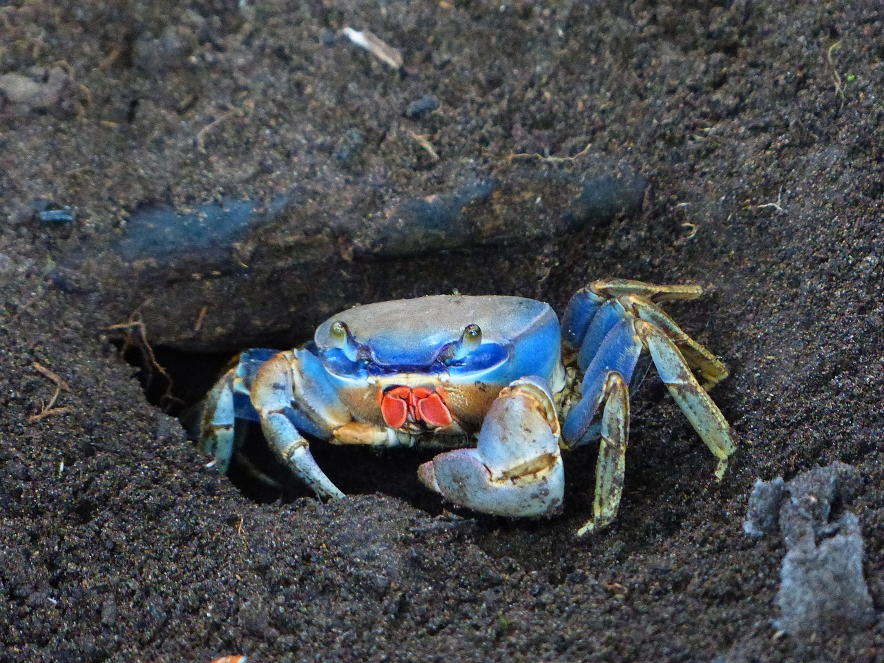 cardisoma guanhumi,west atlantic land crab,blue,colorful,hide,foxhole,ground,cave,free pictures, free photos, free images, royalty free, free illustrations, public domain