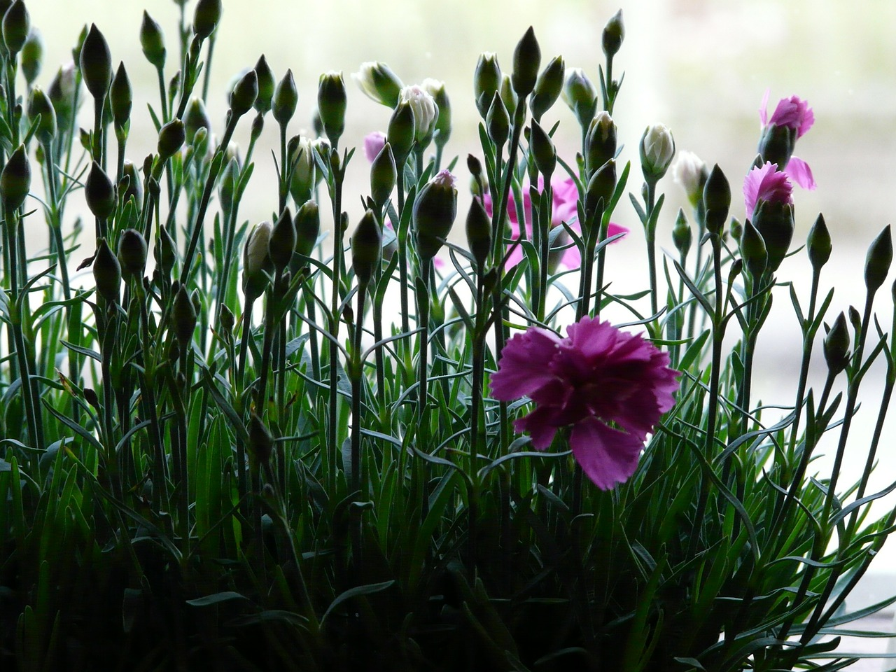 carnation dianthus plant free photo