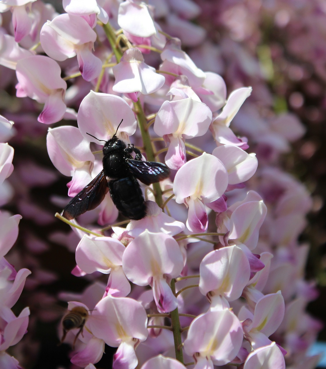 carpenter bee xylocopa wisteria free photo