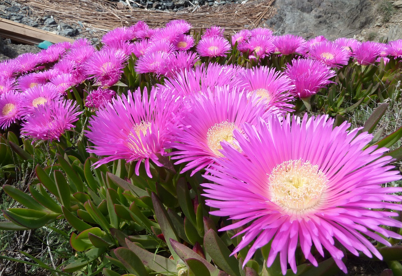 carpobrotus edulis plant flowers free photo